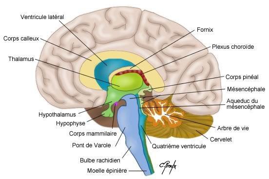 Xanax, Lexomil, Lysanxia, Valium, lorazépam, Myolastan, ces médicaments qui rétrécissent le cerveau - Santé Nutrition