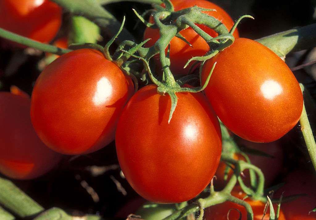 La tomate, reine des légumes-fruits
