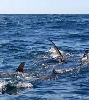 Une nouvelle étude revient sur la menace qui plane actuellement sur les espèces de requins qu'abritent les eaux...