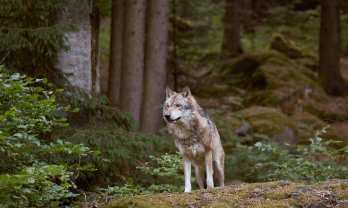 Pétition : Stop à la persécution des loups !