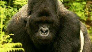 Dans la jungle ougandaise en Afrique, les quelques centaines de gorilles des montagnes restant survivent grâce aux...