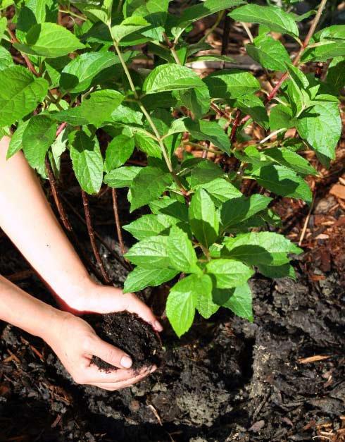 Pralinage des racines: pourquoi et comment? - Botanic