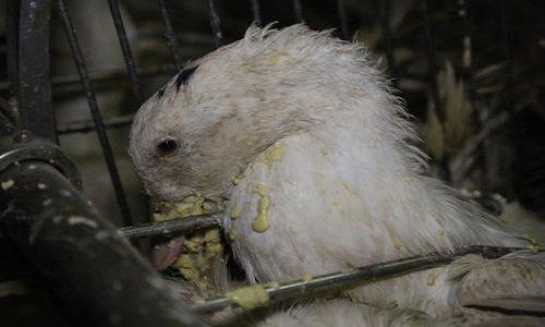 Pétition : Pétition pour avoir le droit de filmer dans les salles de gavage des canards et des oies