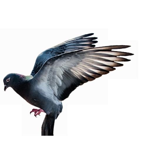 Lcif - Club Des Internationaux Français - AS Pigeons ZONE CIF 2020