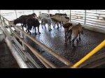 Images choc: le calvaire des chevaux (enquête GAIA)