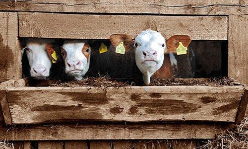 Pétition : Pour mettre fin au scandale des vaches gestantes