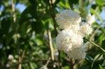 Fleurs de Lilas <3