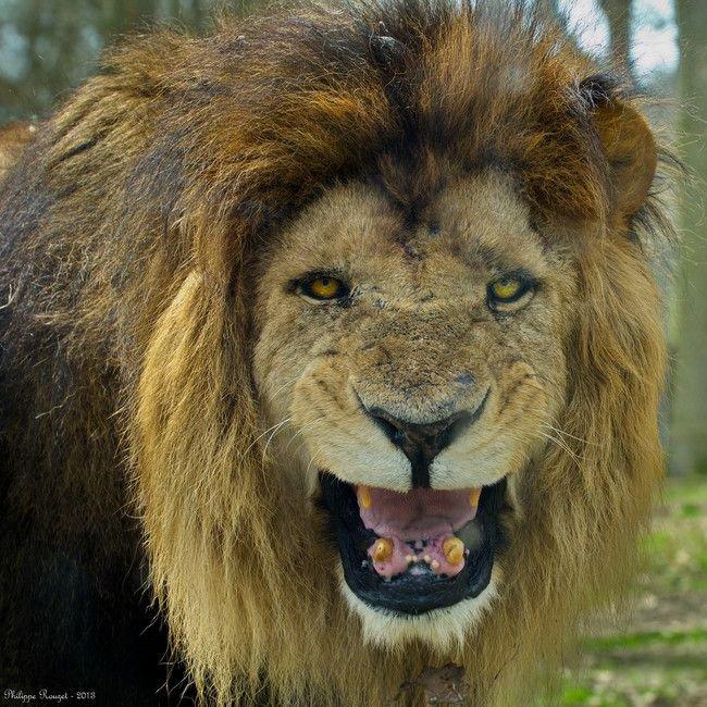 Une jeune fille de 12 ans est enlevée et battue par des hommes, puis 3 lions lui sauvent la vie Sain et Naturel