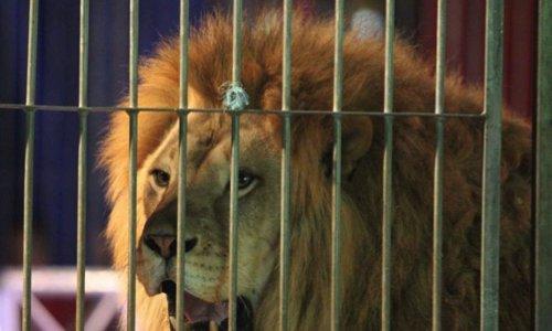 Pétition : Sauvons le deuxième lion du cirque Buffalo Circus de l'euthanasie !