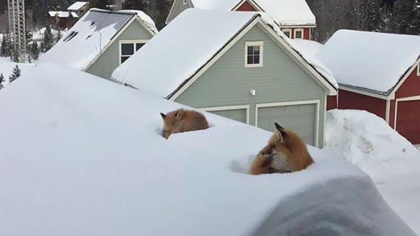 Deux renards confortablement installés sur le toit d'une maison