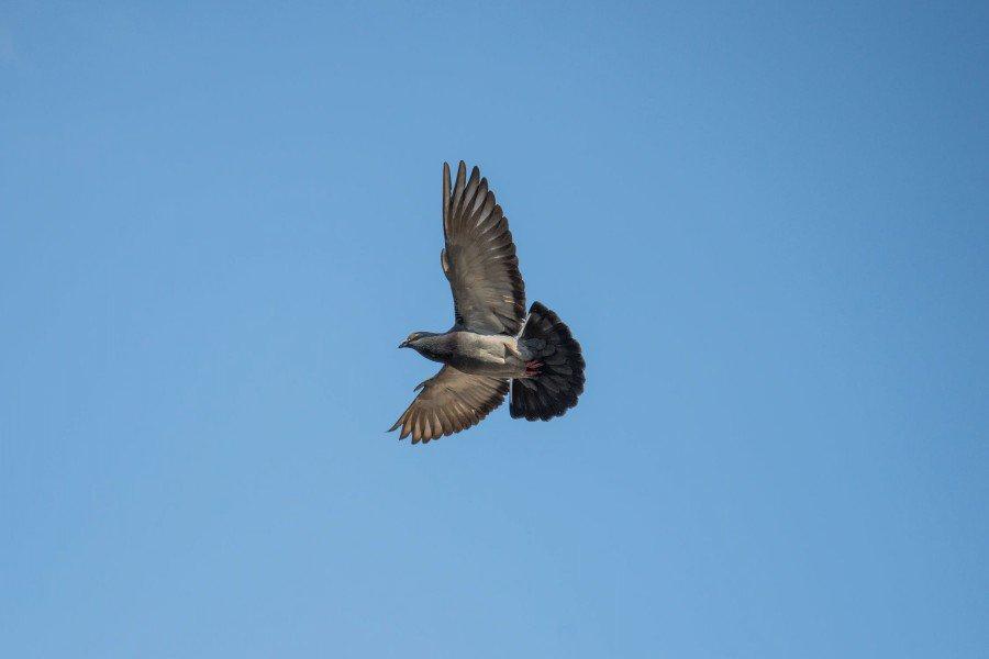 La question du mois: Comment la soif peut-elle être perçue par les pigeons? • Herbots • Herbots