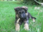 Chiots Berger Allemand Animaux Cher - leboncoin.fr