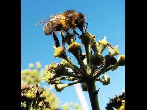 Pesticides.Les abeilles sont bien victimes de certains produits