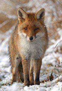 Protégeons les renards - ASPAS : Association pour la Protection des Animaux Sauvages