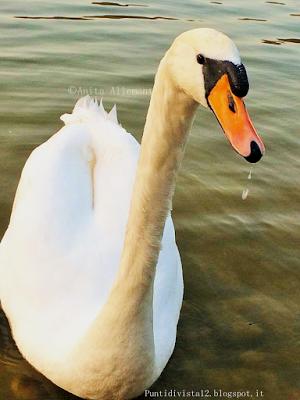 Punti di Vista: Mute swan