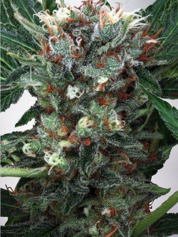 Zensation Féminisées - Ministry of Cannabis