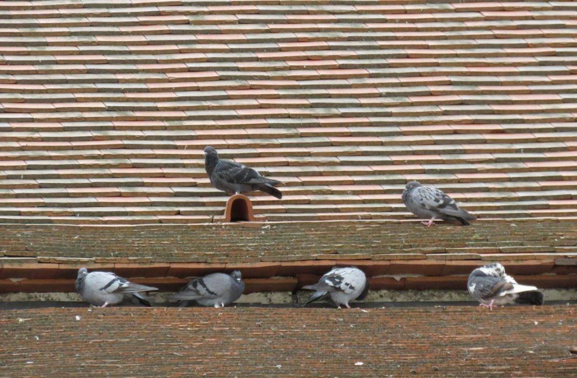 Etampes : le défenseur des animaux Stéphane Lamart veut mettre un terme «au massacre» des pigeons