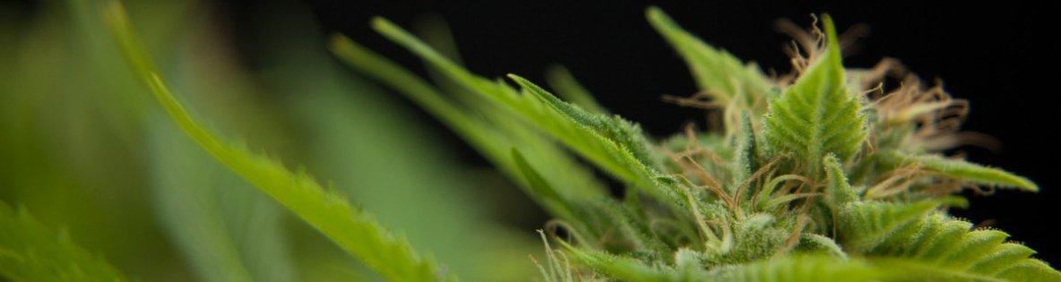 Semillas De Marihuana - Semillas Feminizadas