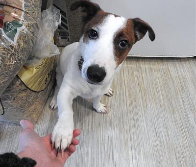 Adoption de Macintosh: Moyen chien jack russell, région Nord-Pas-de-Calais