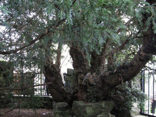 The oldest tree in Britain appears to be undergoing a sex change