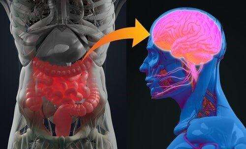 Quelle est la relation entre l'intestin et le cerveau ? - Nos Pensées