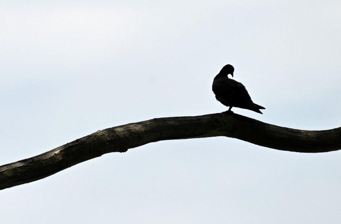 Un pigeon américain va être euthanasié pour avoir enfreint la quarantaine australienne