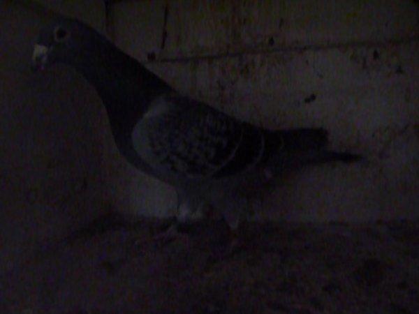 2 ieme pigeon de mon amis ROGER