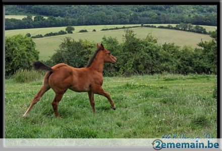 Paint horse solid mere quarter horse a vendre - A vendre | 2ememain.be