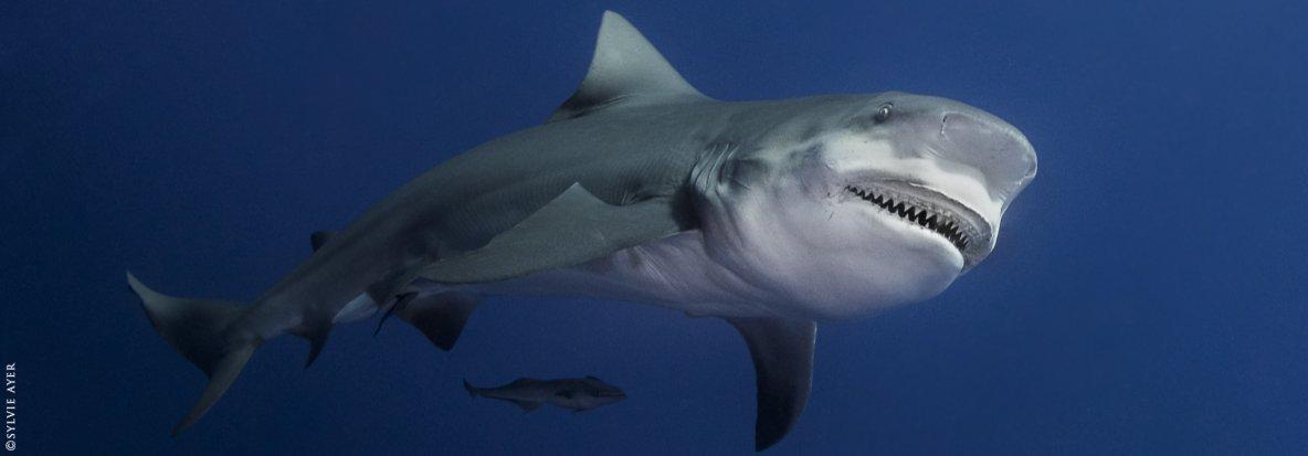 Shark Education | Comprendre et Plonger avec les requins