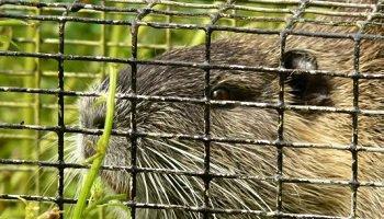 Pétition : Pour que les agriculteurs tortionnaires de ragondins soient punis !
