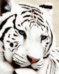 le blog de tigreblanc44