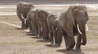 Echo et les éléphants d'Amboseli   Eliot se rebelle - vidéo en replay   En streaming sur francetv pluzz