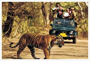 Pench Jungle Safari | Safari Booking Pench | Pench Wildlife Safari