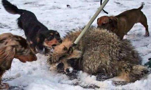 Pétition : Contre la mise à mort des animaux sauvages utilisés pour entraîner les chiens de chasses russes