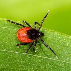 Lyme: les nouvelles directives de la HAS tiendraient compte du manque de fiabilité des tests et d'une forme chronique (France)