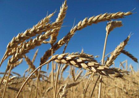 Le premier blé OGM, bientôt dans les champs - Module mère comment va la Belle Bleue ?