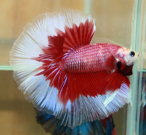 bettas for sale