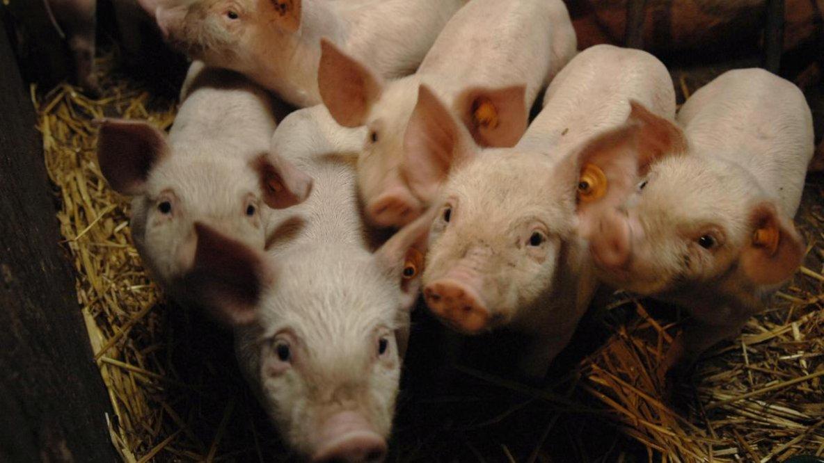 Peste porcine africaine: les vétérinaires s'étonnent de ne pas être consultés