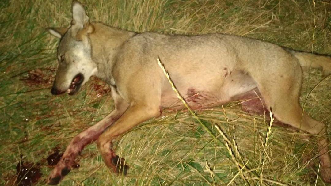 Ancelle : un loup tué après une attaque d'une dizaine de brebis