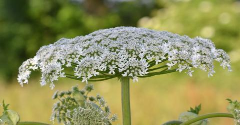 La berce du Caucase, une plante envahisseuse capable de causer de sévères brûlures
