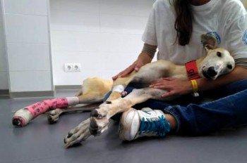 ACTU Animaux - Osiris, galgo, fracture ouverte de la patte, gangrène à enrayer d'urgence