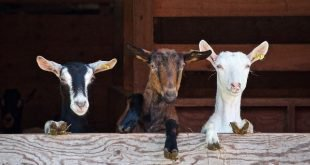 Goat Farming | #1 Guide To Goat Farming in India