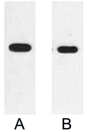 Anti-E2 Tag Mouse Monoclonal Antibody (12T4) - Abbkine - Antibodies, proteins, biochemicals, assay kits for life science research
