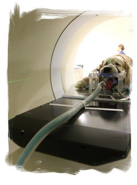 Golden Retriever Study May Help Treat, Prevent Cancer in the Future