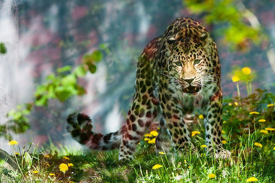 Leopard - SchoolandUniversity.com