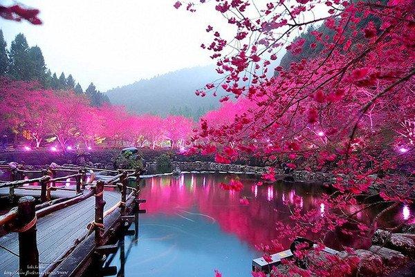 Для всех и обо всем: в Тайване зацвели деревья вишни. Cherry Blossom Festival