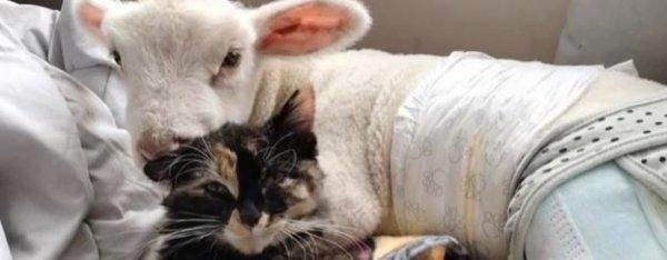 Ce doux agneau orphelin a trouvé son ange gardien (vidéo)