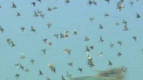 Var: L'envol majestueux de 9000 pigeons voyageurs - France 3 Côte d'Azur