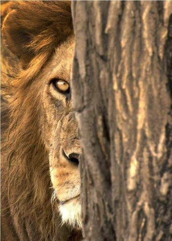 LION IN THE SHADOW....