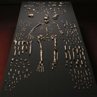 Une nouvelle espèce du genre humain découverte en Afrique du Sud
